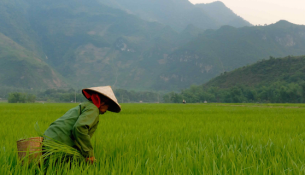 Vietnam_Farmer_Rice_640x320